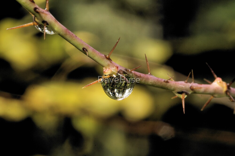 Dewdrops by DaveBuse