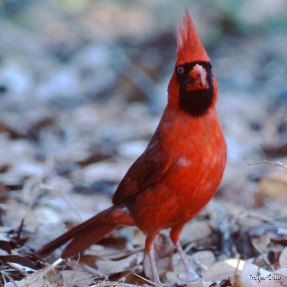 Cardinal by Roger Otto