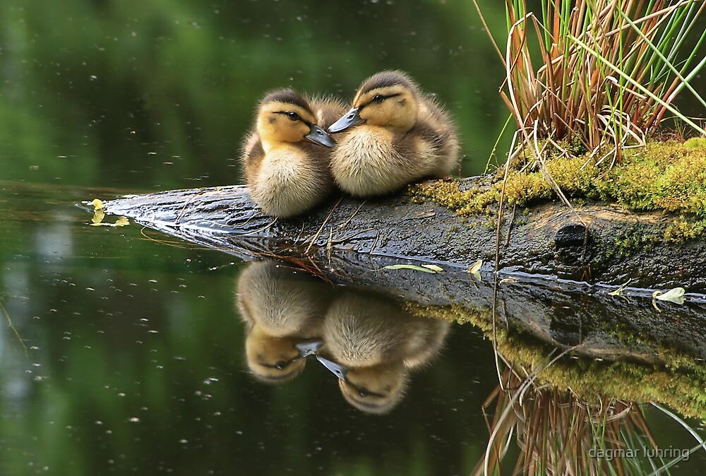 ducklings by danapace