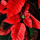 Red Flower Poinsettia by A little more Whirl