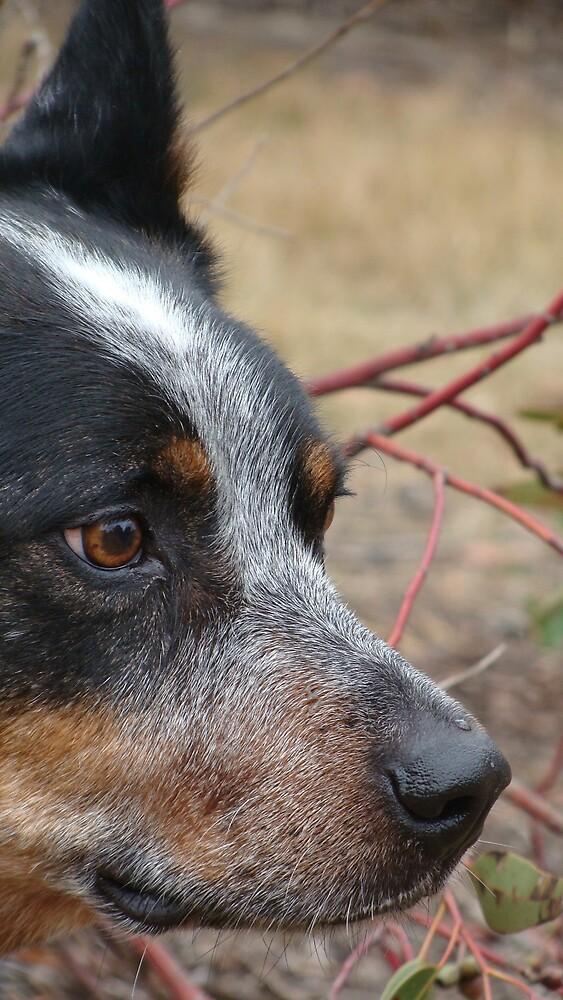 Cattle Dog Contemplation by tillicruz
