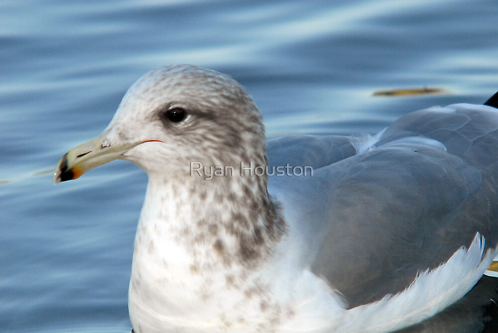 California Gull - Blue Waters by Ryan Houston