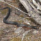 Red-bellied Black Snake II by peterstreet