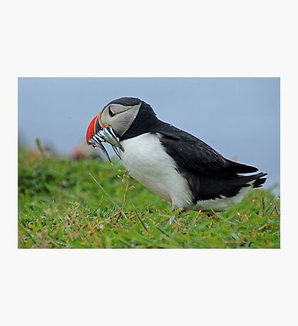 Peckish puffin Photographic Print