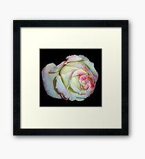 white pink rose 12/08/17 Framed Print