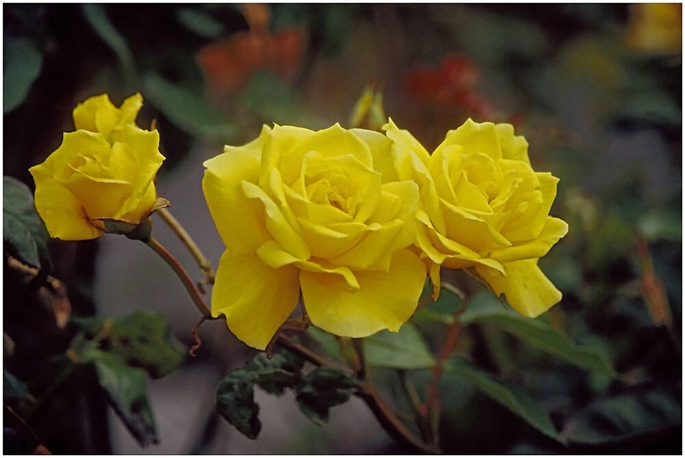 Yellow beauty by satwant