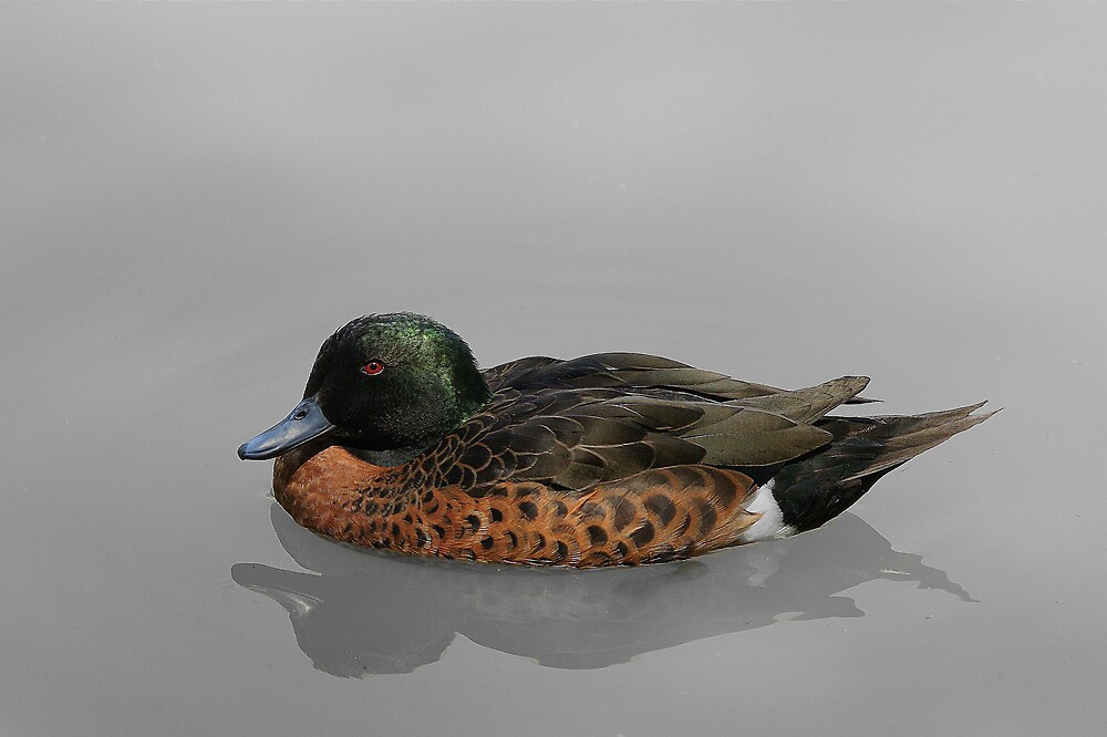 Chestnut Teal by roger smith