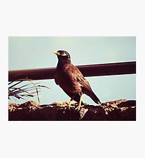 Mynah bird in Po'ipu, Kauai Photographic Print