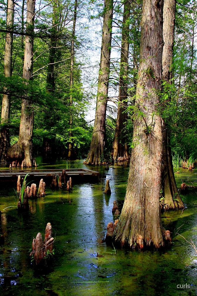 cypress swamp by curls