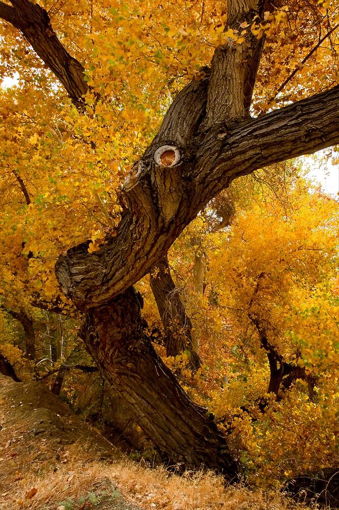 Autumnal Oak by gfydad