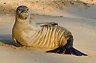 Endangered Hawaiian Monk Seal by thatche2