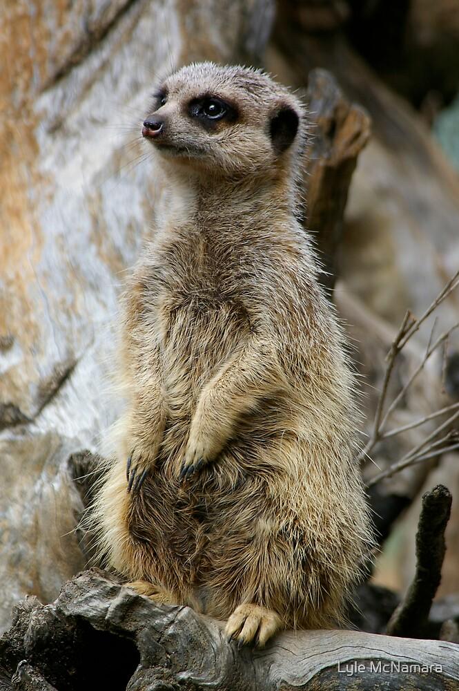 Meerkat by Lyle McNamara