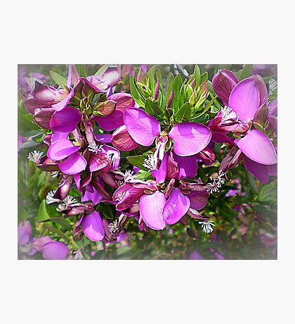 Polygala Grandiflora - Australian Native Tree Photographic Print