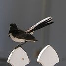 Willy Wagtail by Christina Backus