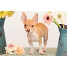 Chihuahua Puppy with Daisies by Susan Gary