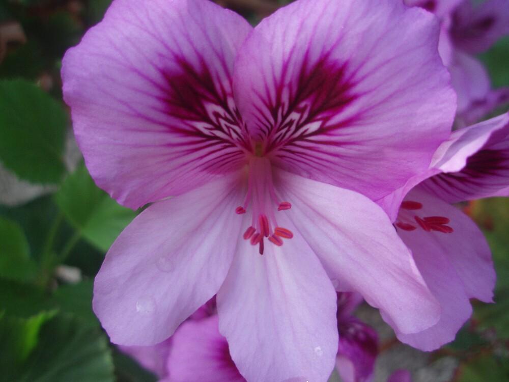 Pink pelargonium after the rain by presbi