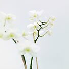 Snow Orchid by Nick Huggins