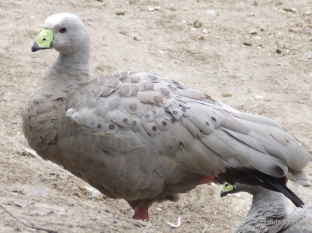 Cape Barren Goose by Linda Ragatz