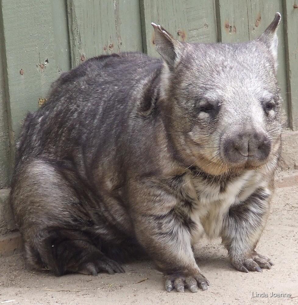 Hairy Nosed Wombat by Linda Ragatz