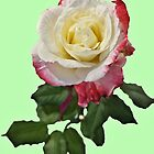 Pink and White Rose by Margaret Stevens
