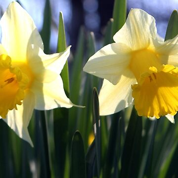 Two daffodils in Our Garden in Romania by ZipaC