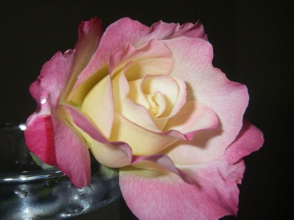 Rose by Magnoliadorn
