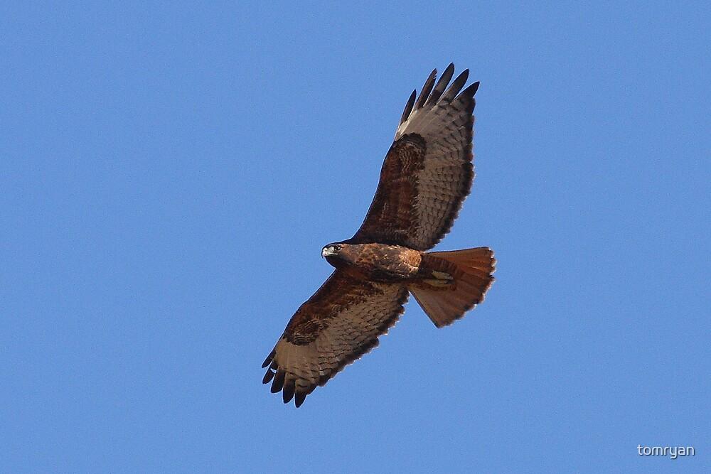 Rufous Morph Red-tailed Hawk by tomryan