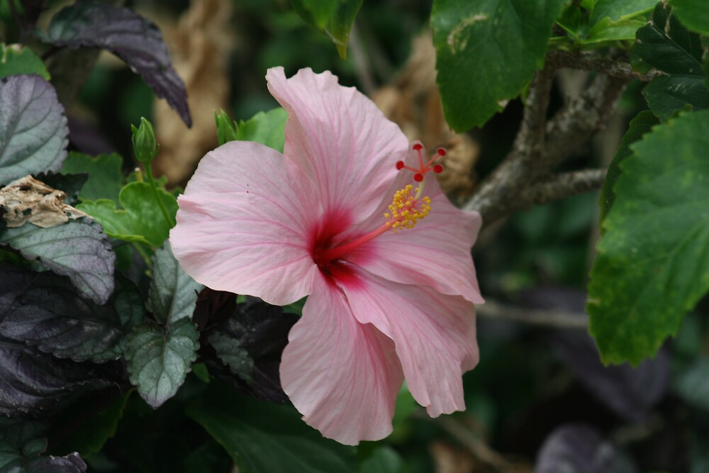 Hibiscus by Jay Spadaro
