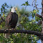 Eagle Series 13 by Deborah  Benoit