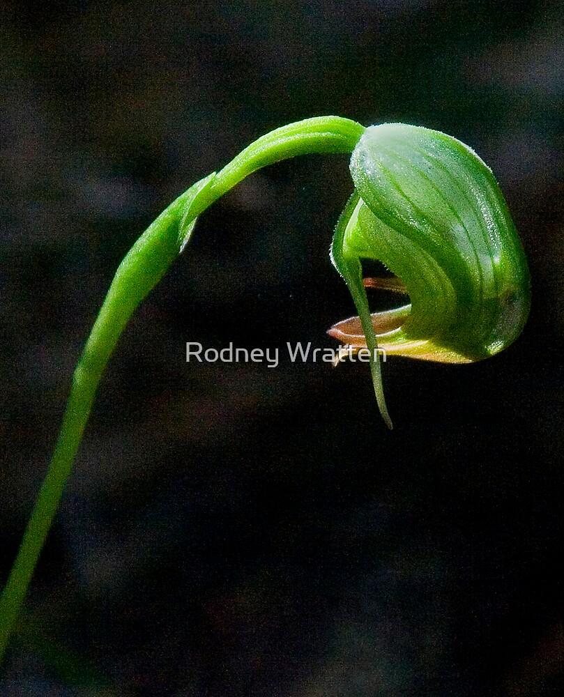 orchid by Rodney Wratten