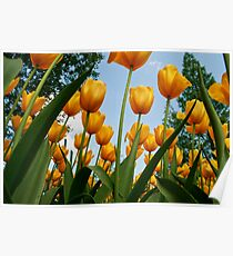 Yellow tulips reaching to the blue expanse Poster