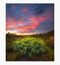 Grevillea Sunset Photographic Print