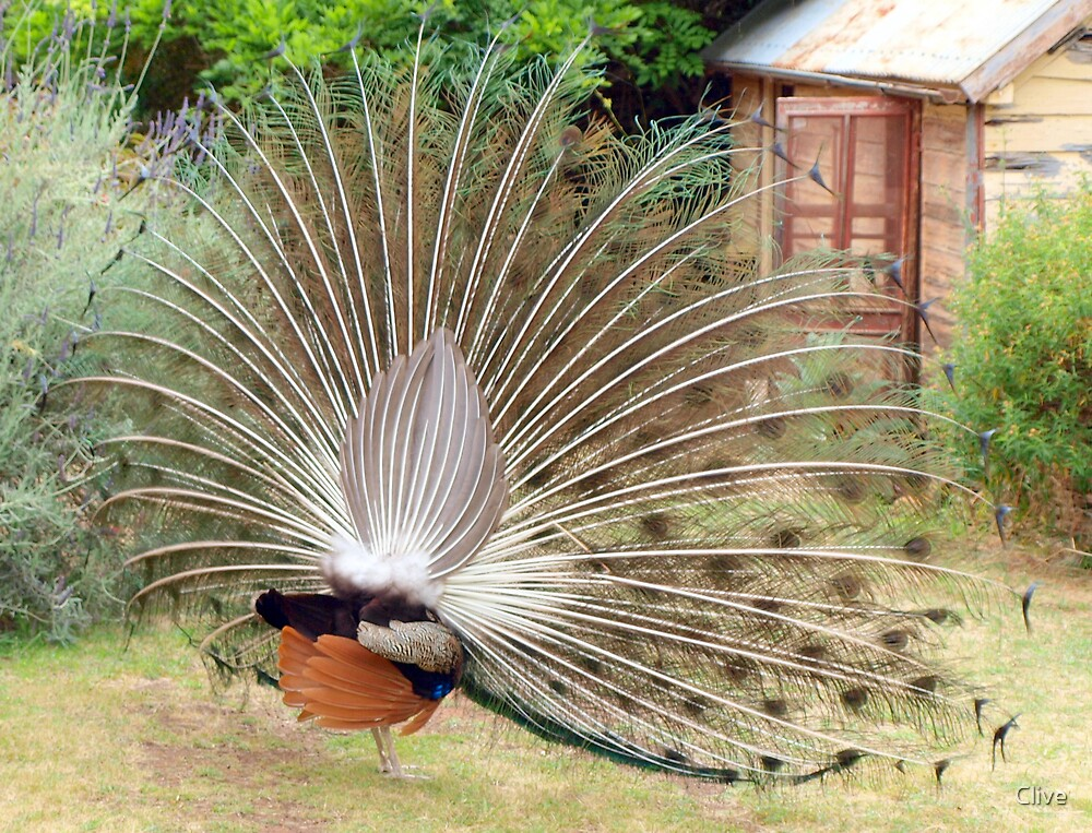 Peacock from behind by Clive
