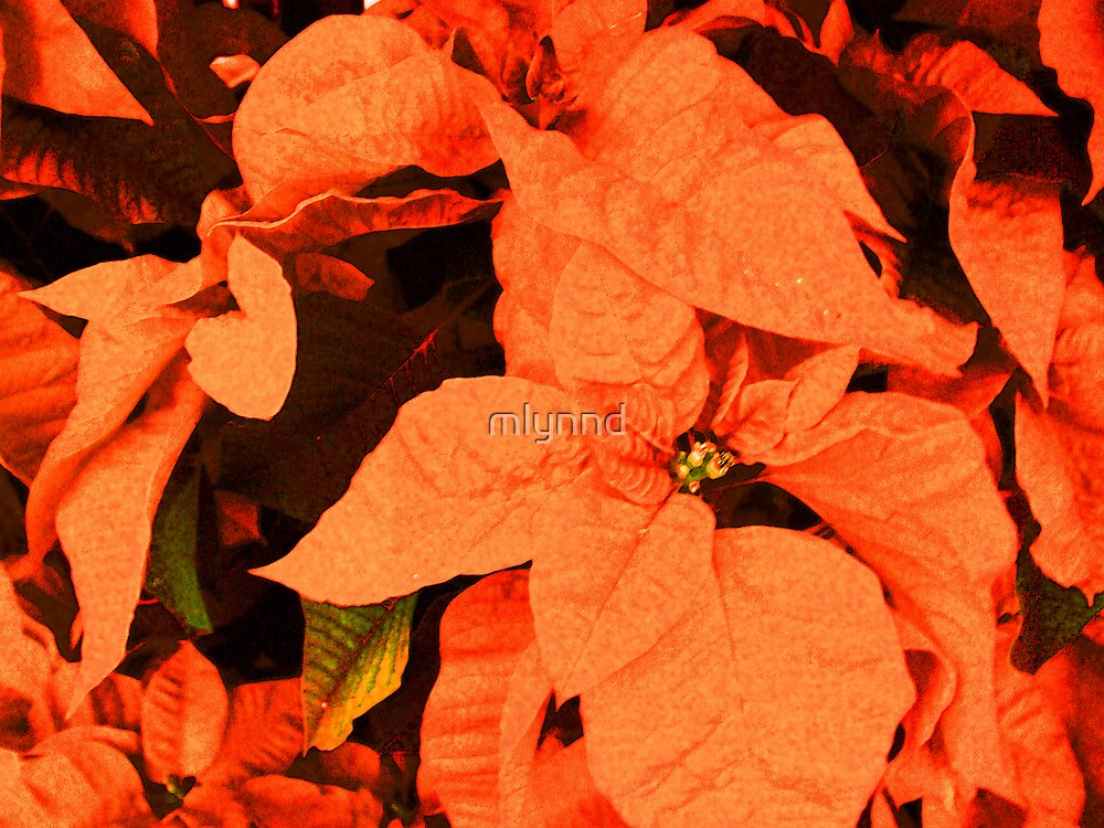 ORANGE POINSETTIA'S ANYONE? by mlynnd