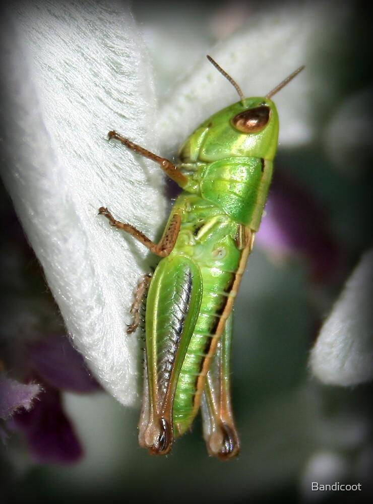 Grasshopper by Bandicoot