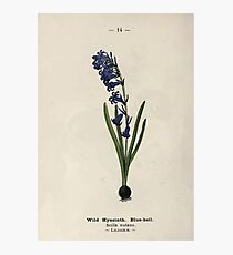 Wayside and woodland blossoms a pocket guide to British wild flowers for the country rambler  by Edward Step 1895 014 Wild Hyacinth Bluebell Photographic Print
