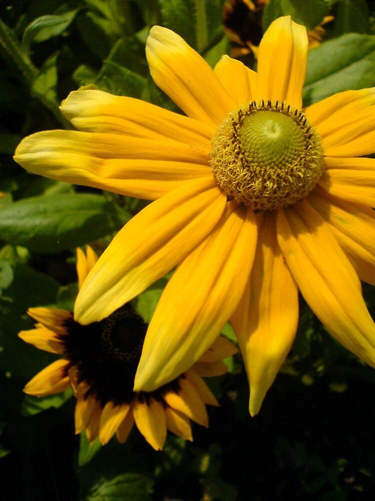Sunflower/echinacea by sassygirl