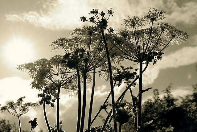 Cow parsley in summer meadow by sassygirl