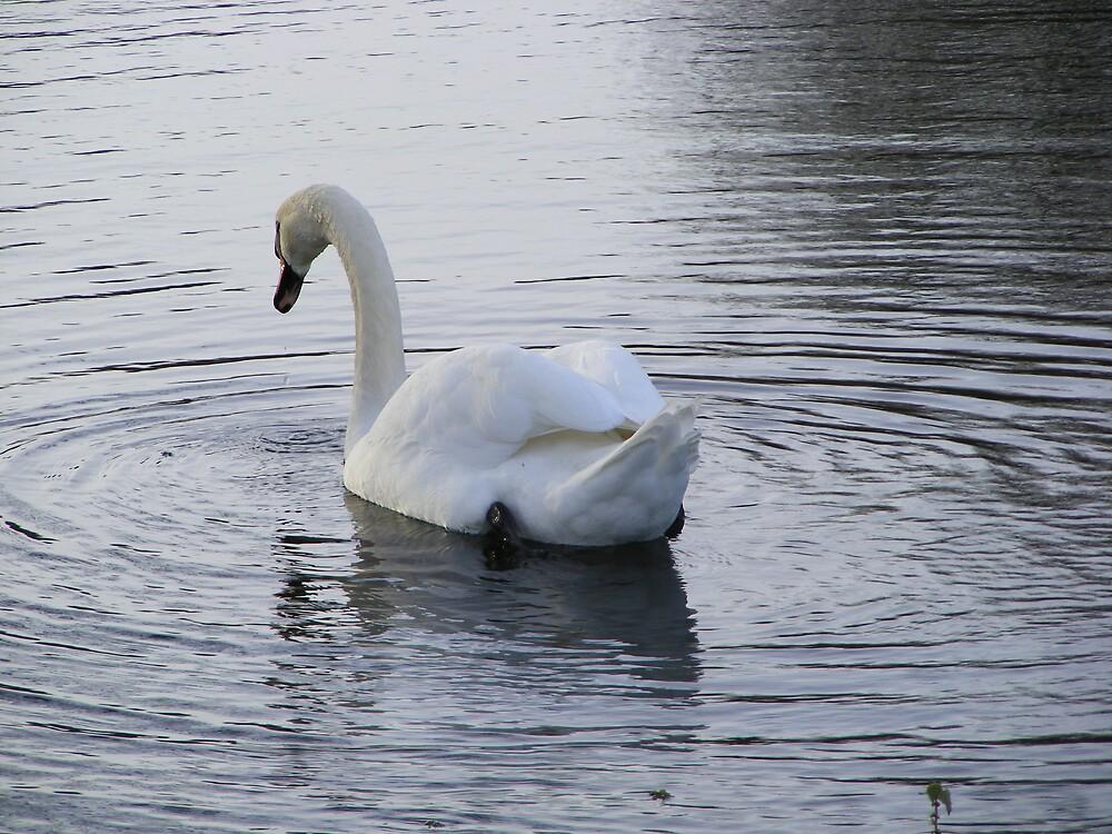 Shy swan by Ian Richardson