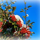 Snow Berries by ScenicViewPics