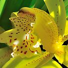 Yellow orchid by bevanimage