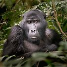 Gorilla I by Neville Jones