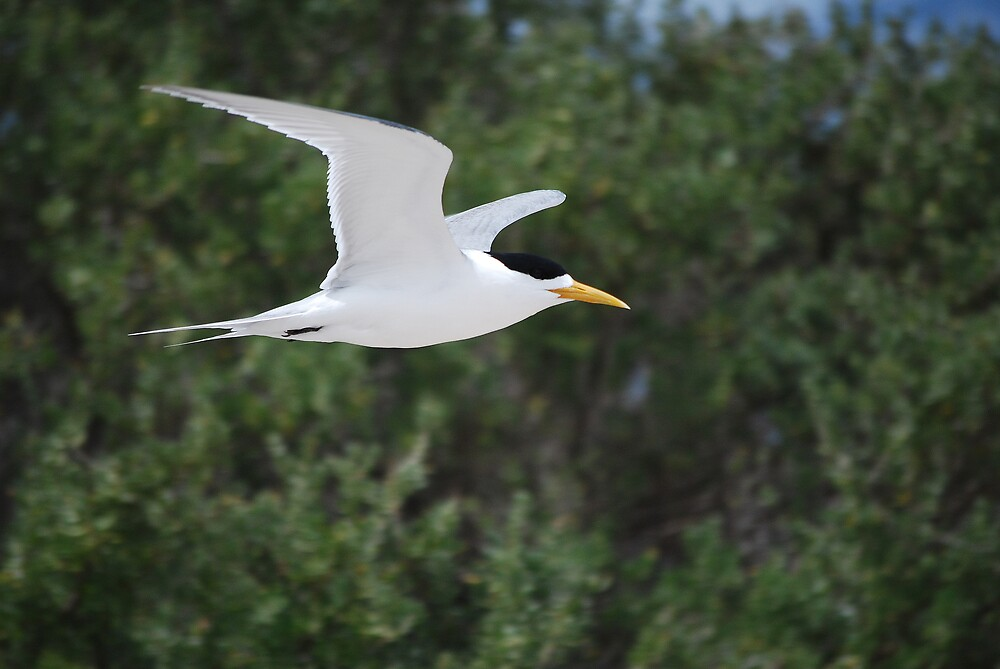 Crested Tern in Flight by Fred  Smith