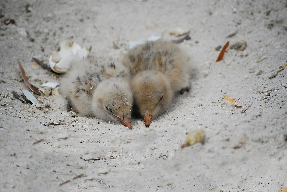 Caspian Tern Chicks by Fred  Smith