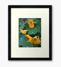 Yellow Nasturtium with Raindrops Framed Print