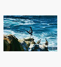La Jolla California Pelican Landing Photographic Print