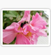 Bee on a Confederate Rose Flower Sticker