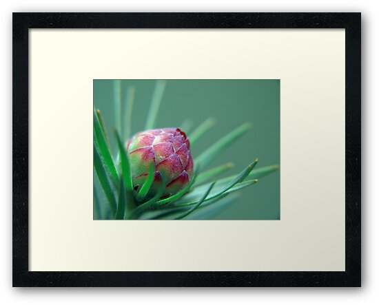 Protea Bud by Beth A