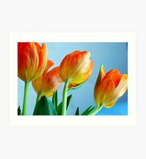 Glowing Orange Tulips Art Print