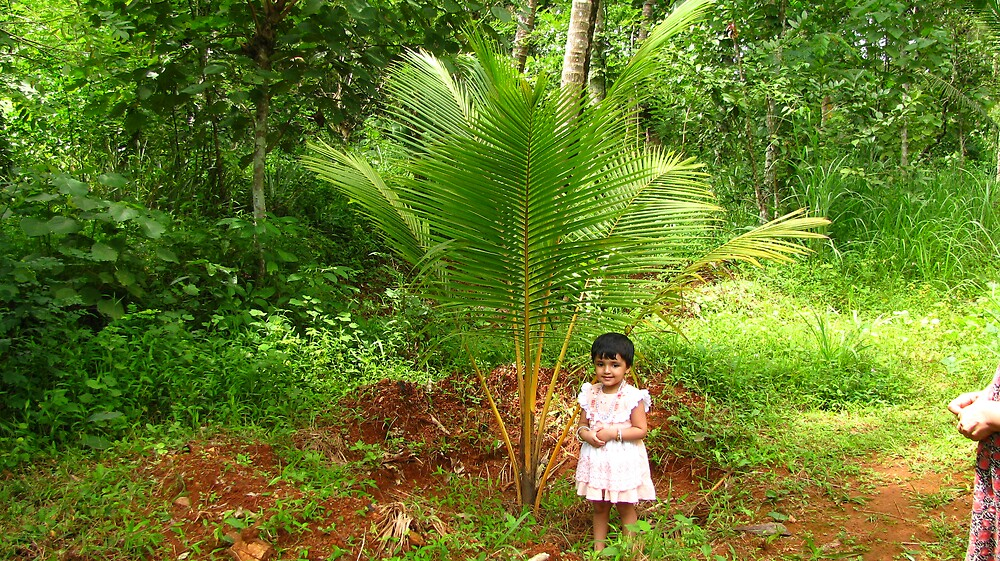 small coconut plant with tropical bushes by mathewkmangalam